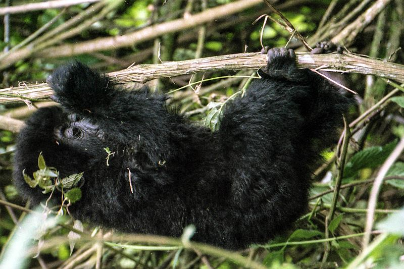 gorilla in Virunga mountains