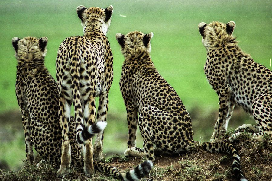 cheetah with three cubs